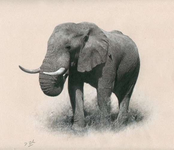 African Bull Drawing 19x19
