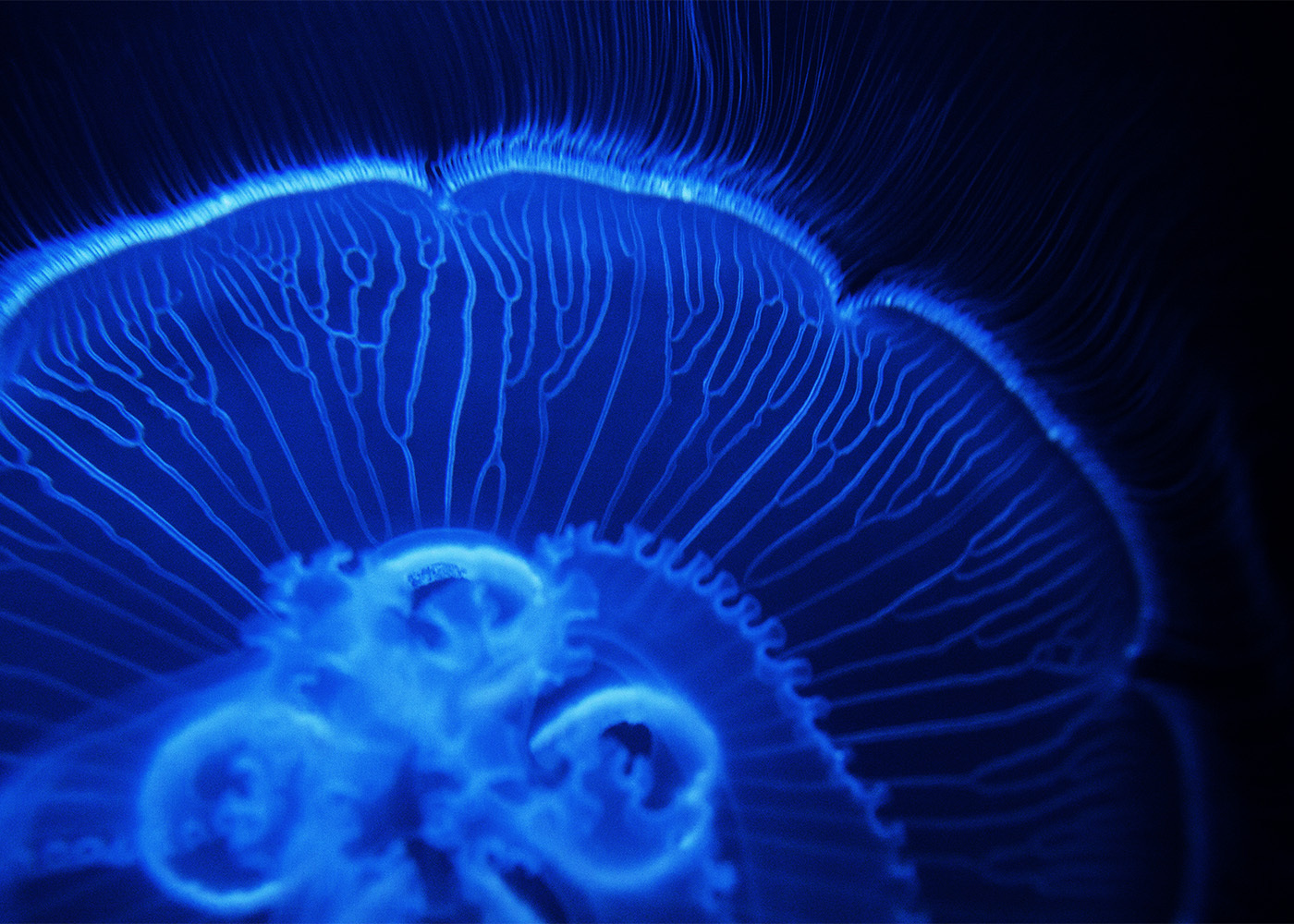 Jelly Fish 1, New York 2012
