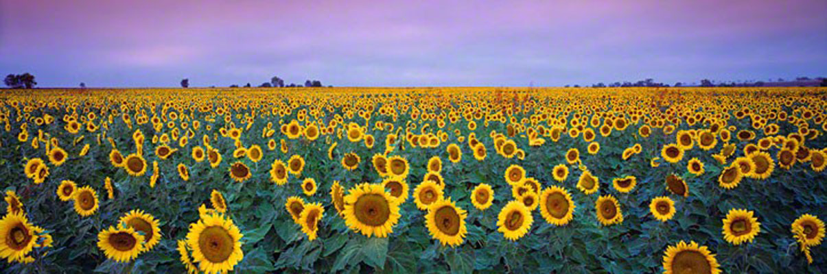 Sunflowers (small edition)