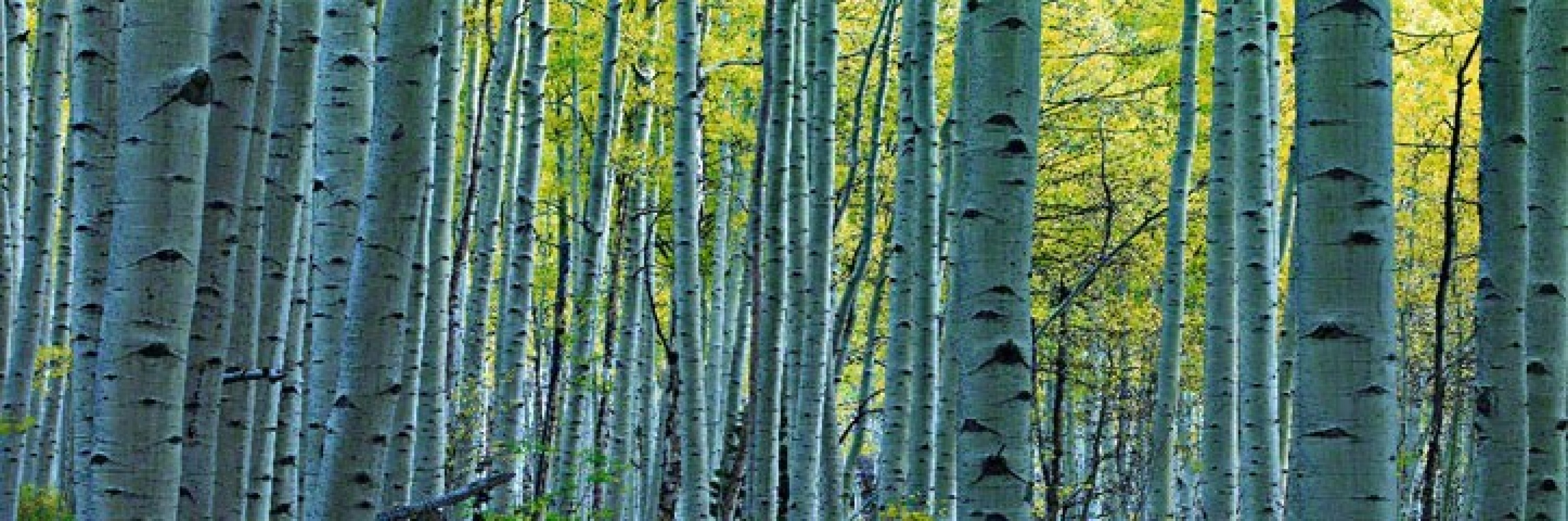 Endless Birches Colorado