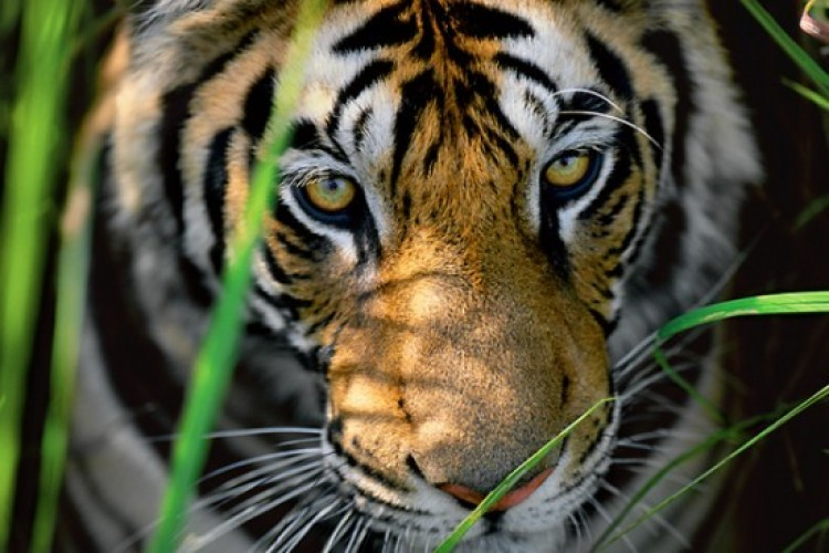 Tiger Eyes 1999 by Thomas Mangelsen