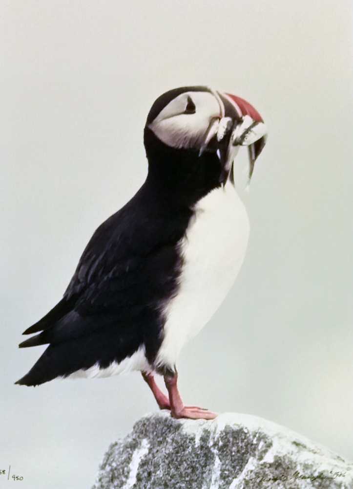 Atlantic Puffin 1986 by Thomas Mangelsen