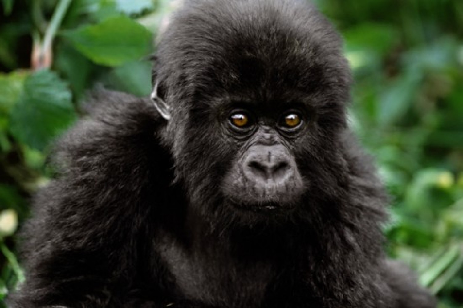 Baby Face - Mountain Gorilla 2003