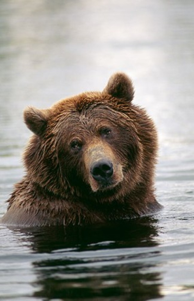 Morning Bath - Brown Bear 1990