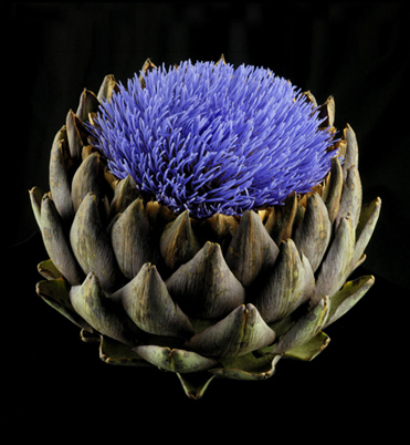 Artichoke in Bloom 2010