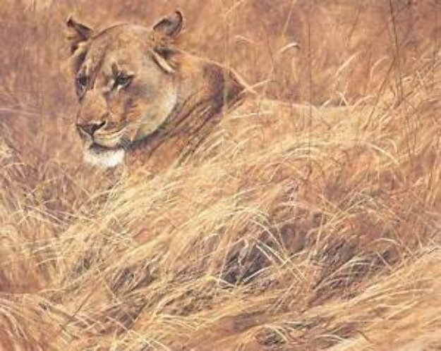 In the Grass - Lioness