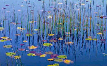 Water Lilies  Panorama - Peter Lik