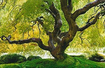 Tree of Serenity Panorama - Peter Lik