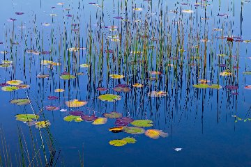 Lilies of the Pond AP Panorama - Peter Lik