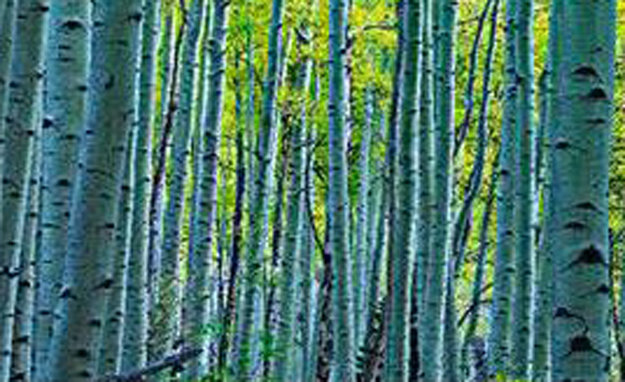Endless Birches Panorama by Peter Lik