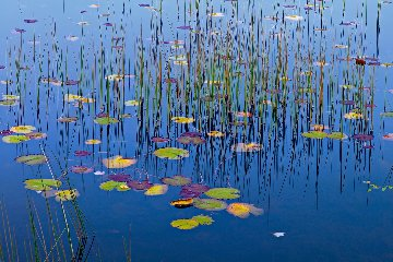 Lilies of the Pond Panorama - Peter Lik