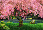 Tree of Dreams (Washington State) Panorama - Peter Lik