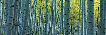 Endless Birches Colorado  Panorama - Peter Lik
