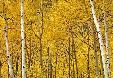Yellow  Panorama by Peter Lik