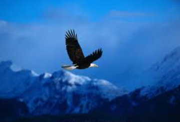 High Country Flight - Eagle  Panorama - Thomas Mangelsen