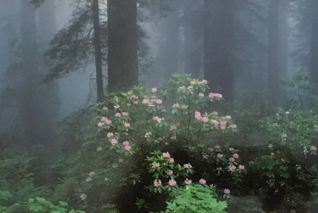 Serenity - Rhododendrons and Redwoods AP