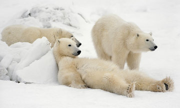 Bad Boys of the Arctic   Panorama - Thomas Mangelsen