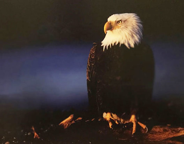 His Majesty - Bald Eagle 2000