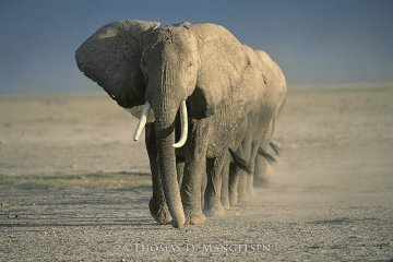 Amboseli Crossing Panorama - Thomas Mangelsen