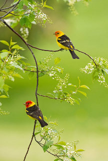 Spring Blossoms - Western Tanagers 2010 Panorama - Thomas Mangelsen
