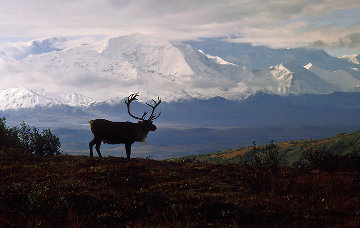 Caribou Country Panorama - Thomas Mangelsen