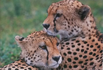 Bond - Cheetahs  Panorama - Thomas Mangelsen