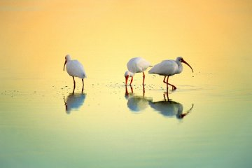Gift of Tides White Ibis  Panorama - Thomas Mangelsen