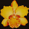 Yellow Orchid 1970 22x22 0