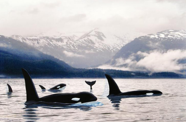 Orca's Northern Waters