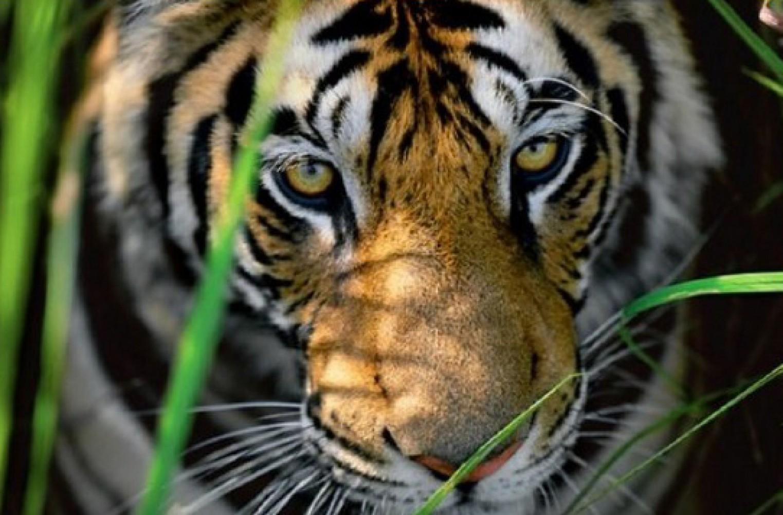 White Tiger Panthera Tigris Tigris  Animals  AZ Animals