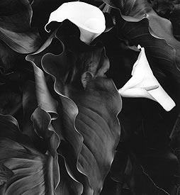 Calla Lillies Photograph, And Brett Weston: Master Photographer Book 1989